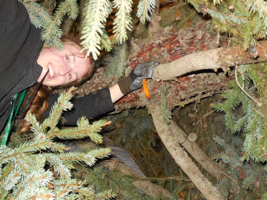 "Washington State University researcher Katie McKeever places a ""hobo"" sensor in the canopy of the Christmas tree taken from Colville National Forest in Pend Oreille County last weekend and bound for Washington D.C. Photo: Courtesy WSU"
