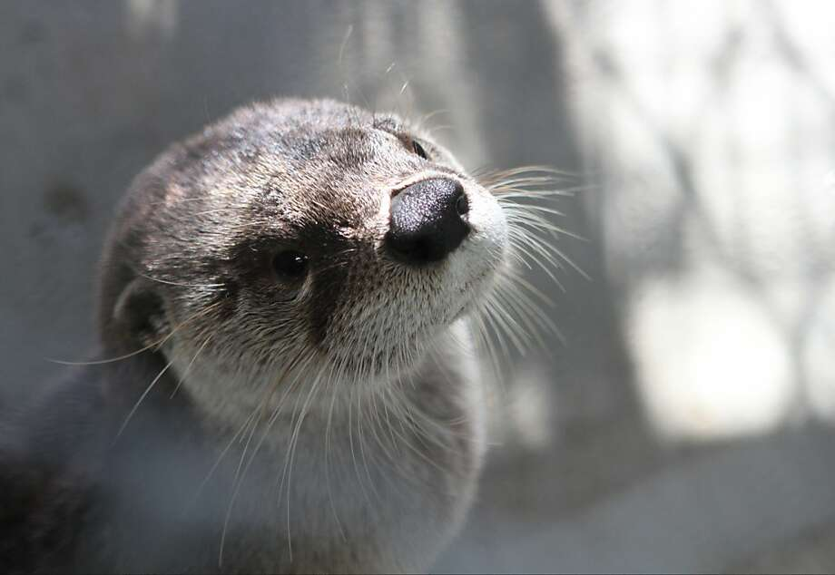 Reflecting rays: An otter warms its face in the sun at Reflection Riding, a nature preserve in Chattanooga, Tenn. Photo: Maura Friedman, Associated Press