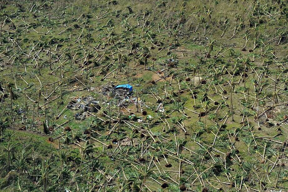 Coconut trees uprooted by Super Typhoon Haiyan lie on a hill near the town of Guiuan in the central 