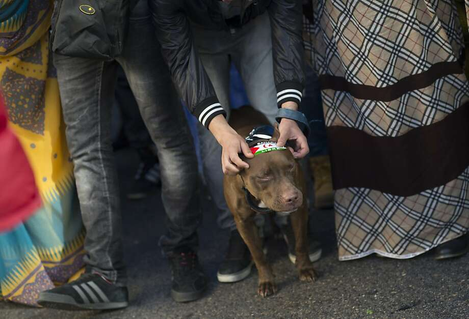 Political pooch: An activist for the independence of Western Sahara sticks a decal on a dog during a protest in Madrid. 