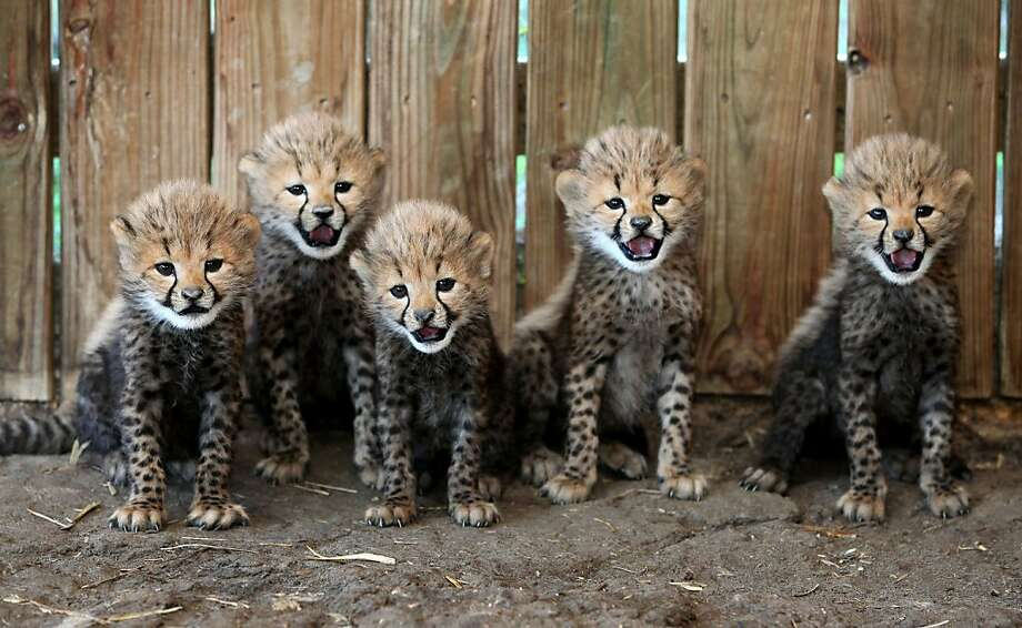 No. 2, please turn to your left: Whenever there's a shredding incident reported at the Metro Richmond Zoo in Chesterfield, Va., zookeepers round up the usual suspects - five baby cheetahs - for a lineup. Photo: Daniel Sangjib Min, Associated Press