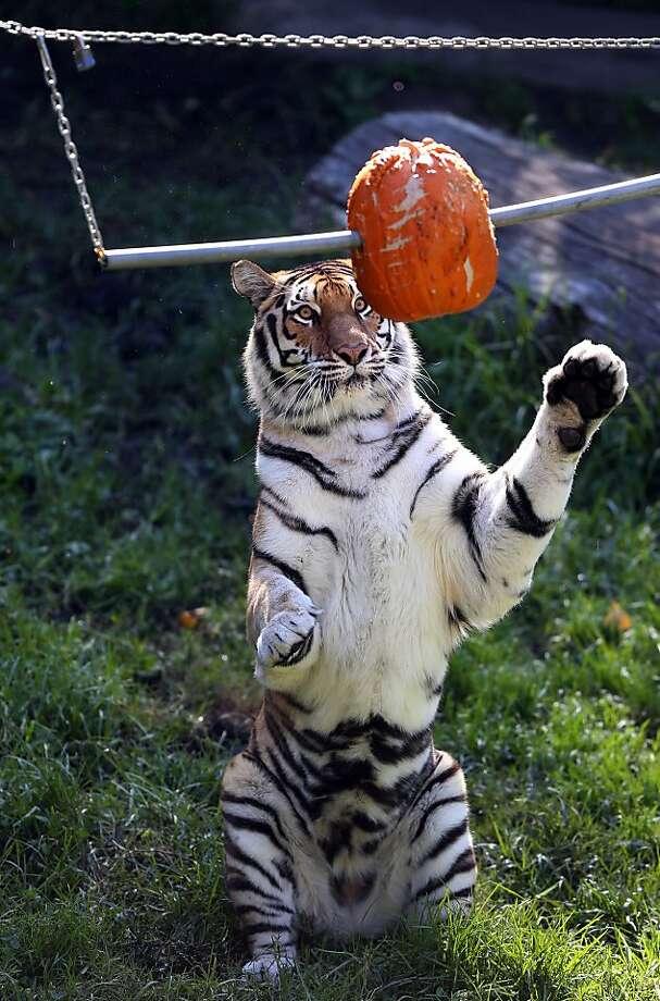 Worst. Abacus. Ever:A tiger swats at a pierced pumpkin at the Oakland Zoo. Photo: Anda Chu, Associated Press