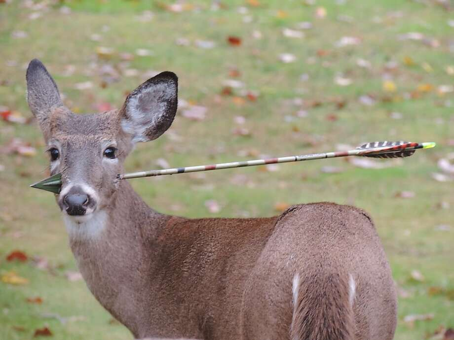 The good news is that New Jersey wildlife officials successfully removed the arrow from this young buck's head after tranquilizing the animal in Morris County. The biologists who 