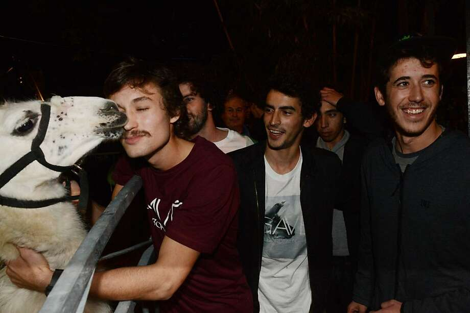 """A French 'Hangover':Usually a night of heavy drinking followed by kidnapping livestock ends badly, but not in Bordeaux, France. On Halloween, five inebriated young men abducted a llama they dubbed Serge from a circus and took him for a walk and a ride in a streetcar. Eventually, the animal was returned to the circus. The circus' director filed a complaint, but changed his mind, instead inviting the kidnappers to reunite with their """"victim."""" Photo: Mehdi Fedouach, AFP/Getty Images"""