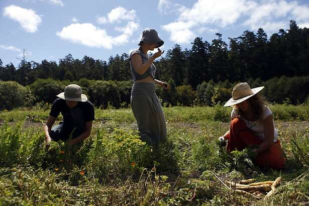Vicente Fernandez, of Chile, Olivia de Castres, of Australia, and Adrienne Ahnell, of the United States (Pennsylvania ), all WWOOFer's at Marie's Farm, pick carrots from the field in Pescadero, Calif. on August 16, 2013.