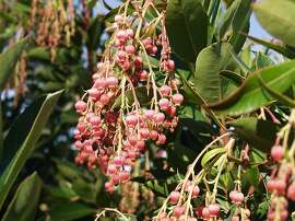 Arbutus unedo features oval, shallow-toothed, glossy green leaves to 4 inches in length. Panicles of hermaphrodite white or pink-tinged flowers appear in spring and summer. These flowers are urn-shaped, as is most often the case with Ericaceae members, and pollinated by bees.