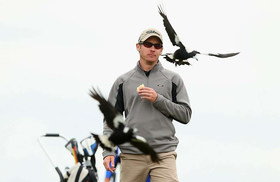 MELBOURNE, AUSTRALIA - NOVEMBER 11:  Brad Shilton of Australia is swooped by magpies during previews ahead of the 2013 Australian Masters at Royal Melbourne Golf Course on November 11, 2013 in Melbourne, Australia.  (Photo by Quinn Rooney/Getty Images) *** BESTPIX *** Photo: Quinn Rooney, Getty Images