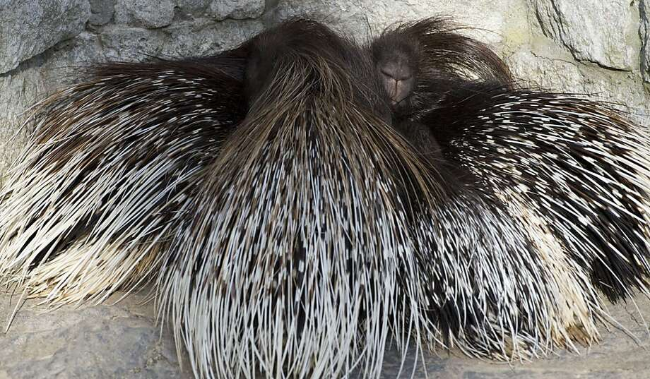 Teutonic the hedgehogs:When temperatures drop at the Tierpark Zoo in Berlin, porcupines huddle for warmth - carefully. Photo: John MacDougall, AFP/Getty Images