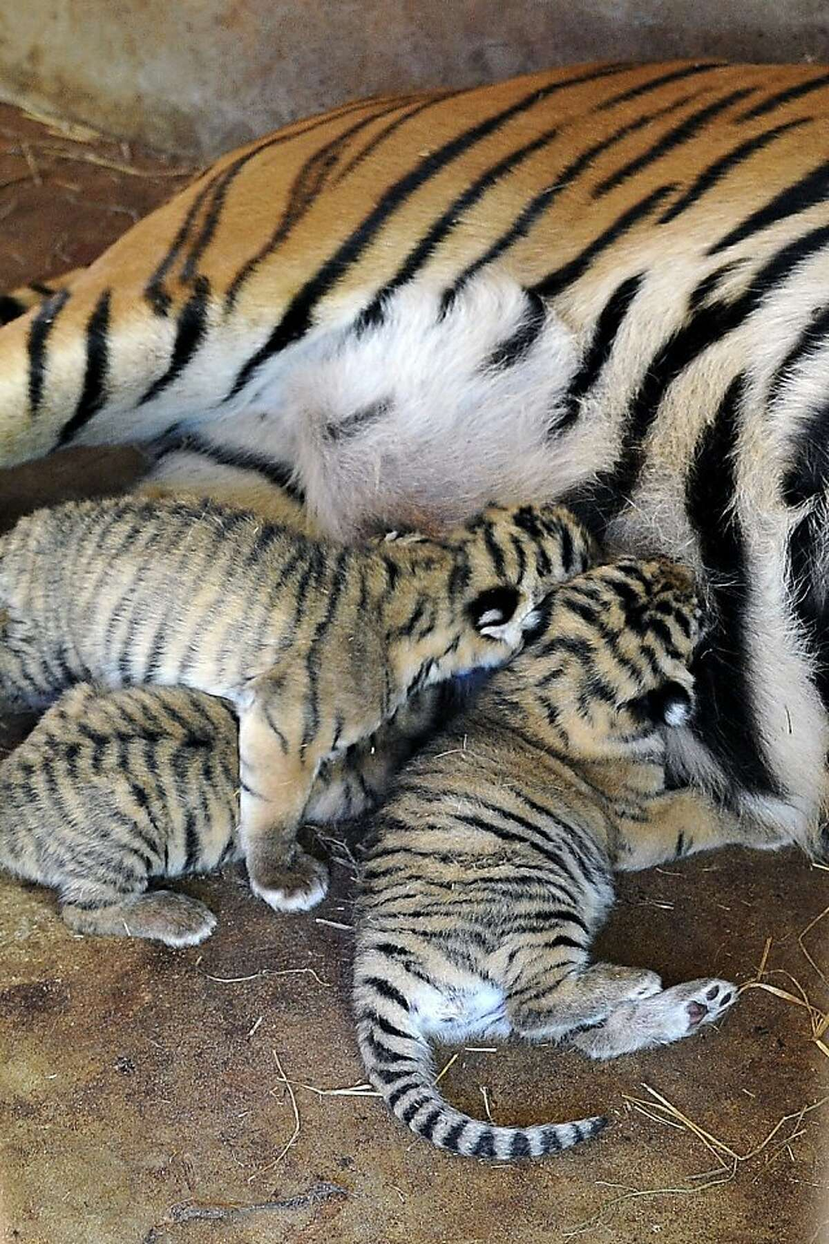 Getting trampled is the price a cub pays for breakfast at the zoo in Asuncion, Paraguay. The baby Bengals were born last week to tigers seized last year from a circus attempting to travel to Argentina without permits.