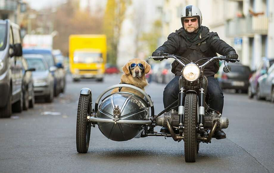 Ruff ride: In Berlin, Marvin the golden retriever rides in style in the sidecar of Martin Reichert's 1955 BMW R50. Reichert's employer allows him to take Marvin to work. Photo: Hannibal Hanschke, AFP/Getty Images