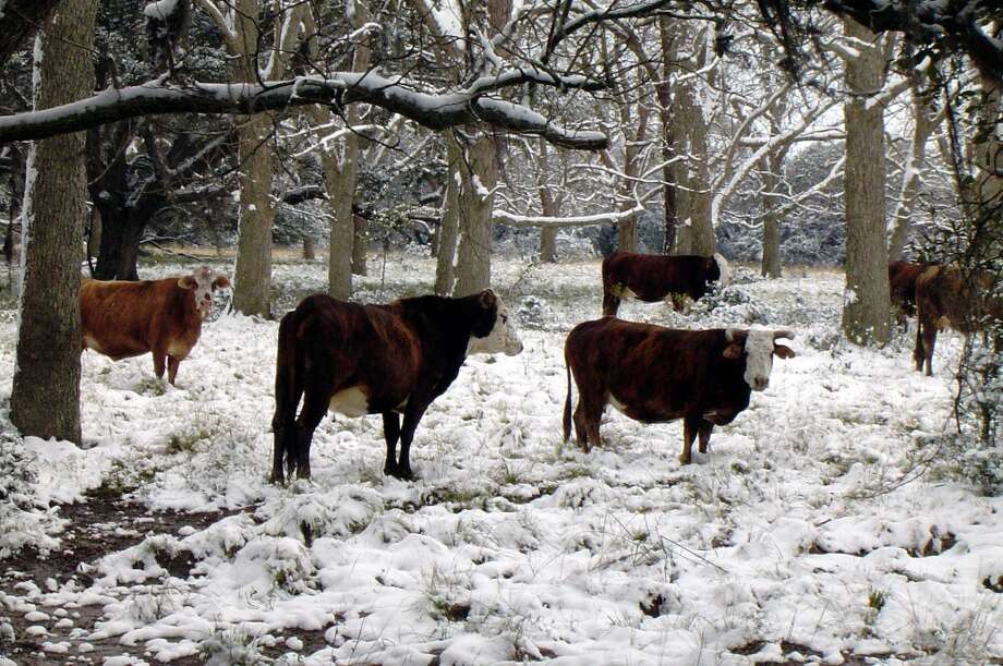 Pictured is a group of cows at the Black Ranch, just north of the Brazos Bend State Park in Fort Bend County, on Christmas morning of 2004. Photo: Reader Photo, Connie Black