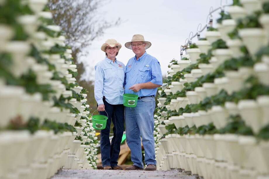 Owners Lynne and Dave Johnson grow strawberries in a vertical hydroponic system at Blessington Farms in Simonton. The berries will be ready for picking in late November or early December. Photo: Mayra Beltran, Staff / © 2013 Houston Chronicle