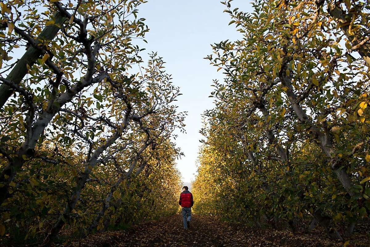 Tom Broz, owner, in an apple orchard at Live Earth Farms in Watsonville, Calif., Saturday October 9, 2013.