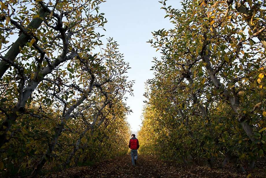 Tom Broz, owner of Live Earth Farm, walks through an apple orchard in Watsonville. Photo: Jason Henry, Special To The Chronicle