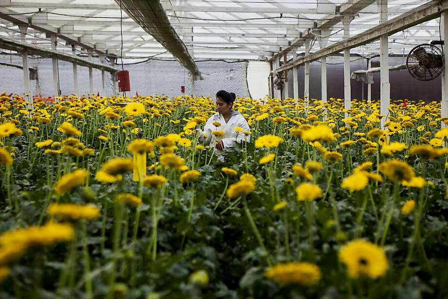 An employee inspects gerbera flowers at the Dramm & Echter growing facility in Encinitas, California, U.S., on Tuesday, Nov. 12, 2013. The U.S. Census Bureau is scheduled to release wholesale inventories figures on Nov. 15. Photographer: Sam Hodgson/Bloomberg Photo: Sam Hodgson, Bloomberg