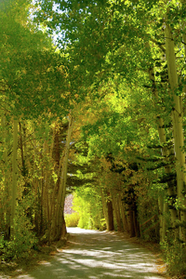 A tunnel of trees in the early stages of changing color on North Lake Road in Bishop Creek Canyon. Photo: ShaleAnn Cluff