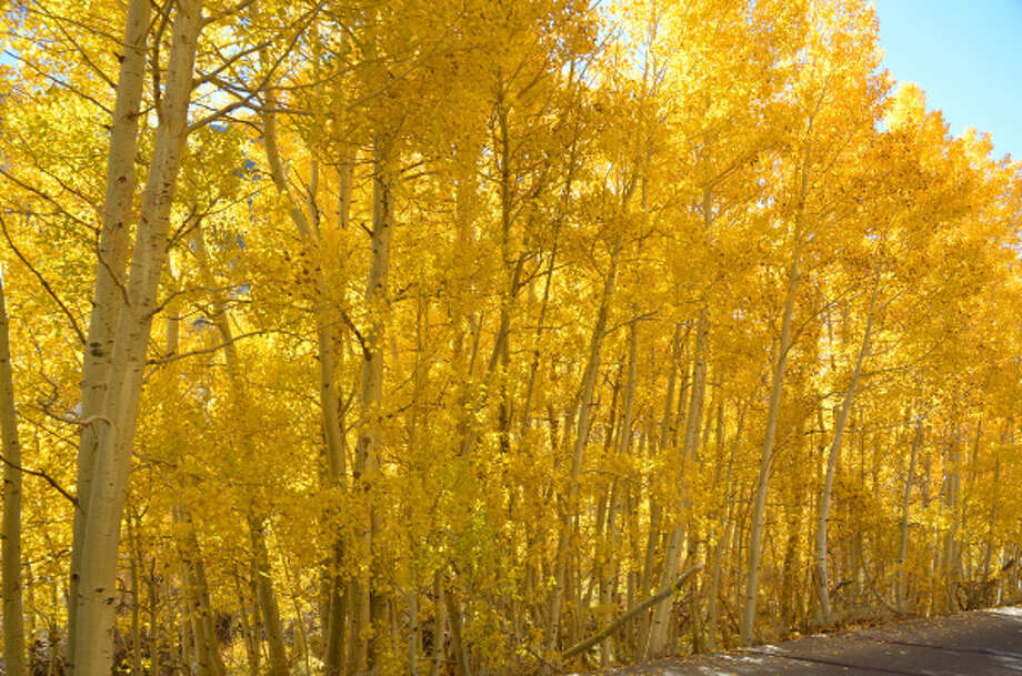 Brilliant trees line South Lake Road in Bishop Creek Canyon, near South Lake in Inyo County, in mid-Ocrober. Photo: Krisdina Karady