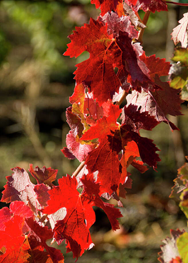 """Burgundy"" takes on a different meaning in Napa Valley's vineyards in November. Photo: John Poimiroo"