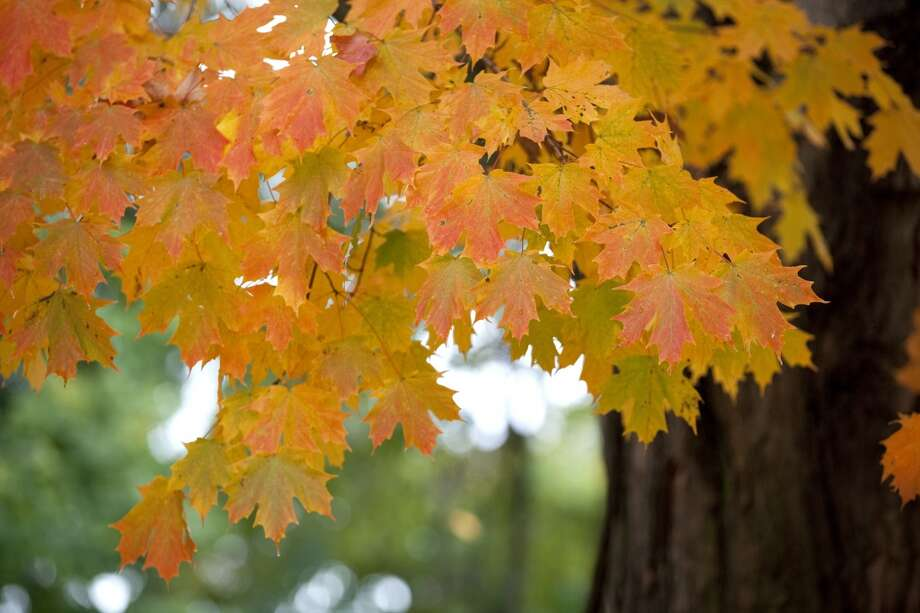 Fall leaves have turned orange, on October 4, 2013 in Hingham, Massachusetts. New England is known for its fall colors. Leaf peepers come from all over to see the beautiful scenes. Photo: Christian Science Monitor, Melanie Stetson Freeman/The Christian Science Monitor Via Getty Images