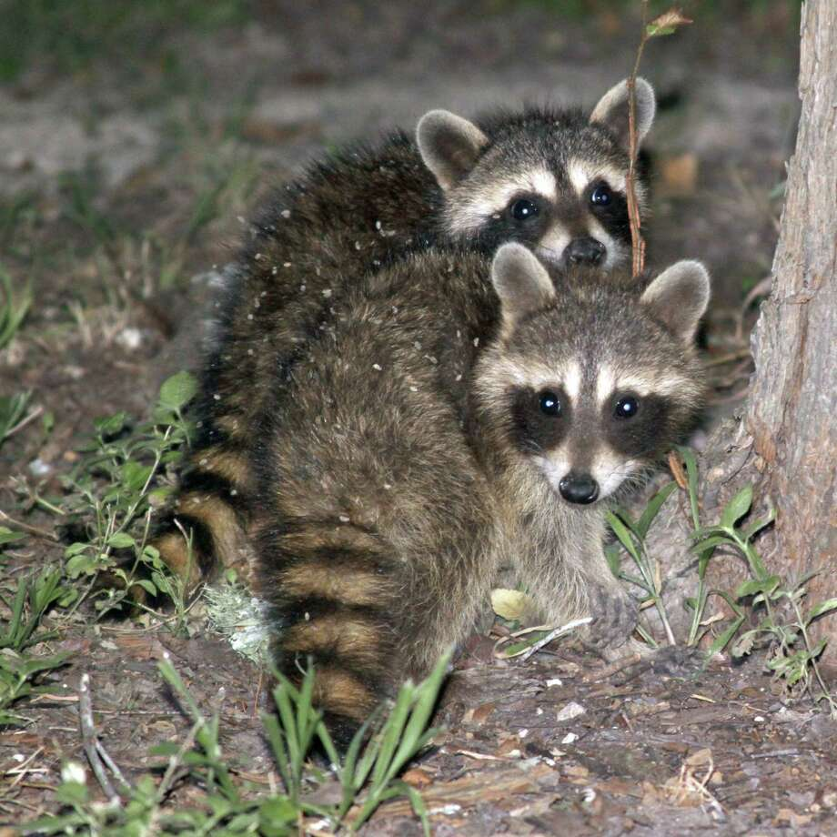 While raccoons have a high cuteness index, they can become a major nuisance. They are expert thieves and can chew through roofs and set up housekeeping in attics. Photo: Forrest M. Mims III / For The Express-News