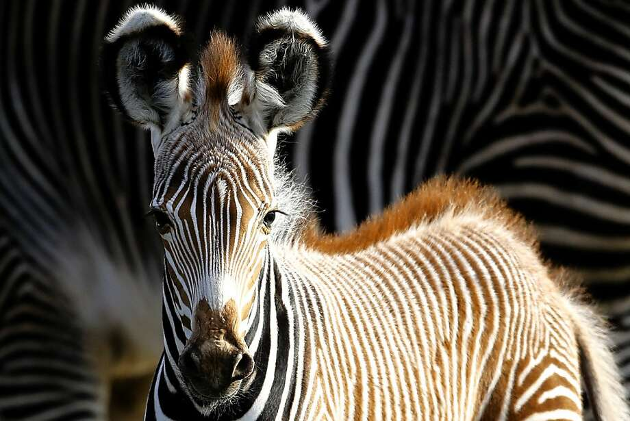 Five days old, already has a mohawk: Heinrich, a baby Grevy's zebra, is the newest punk at the Tierpak Zoo in Berlin. Photo: Markus Schreiber, Associated Press
