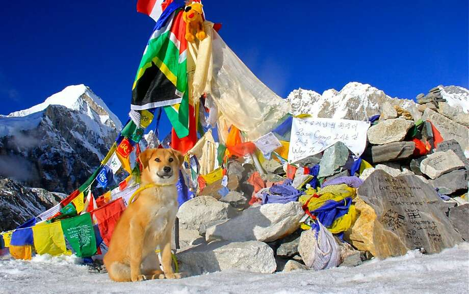 Expedition 'sure-paw':A mutt named Rupee is believed to be the first canine to make the trek to Everest Base Camp on the world's highest peak. Former professional golfer Joanne Lefson said she adopted the 11-month-old pooch in the mountainous Indian town of Leh last September and decided to take him on the trip to base camp at an elevation of 17,598 feet. Photo: Joanne Lefson, AFP/Getty Images