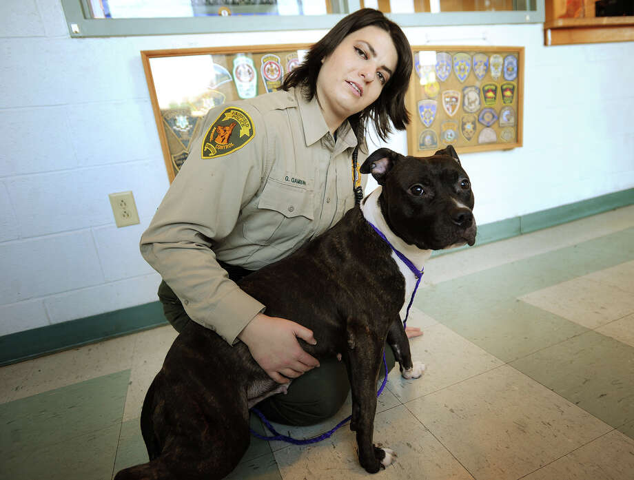 """Assistant Animal Control Officer Gina Gambino with """"Layla"""", one of the many pitbulls up for adoption at the Fairfield Police-Animal Control facility in Fairfield, Conn. on Wednesday, November 13, 2013. Photo: Brian A. Pounds / Connecticut Post"""