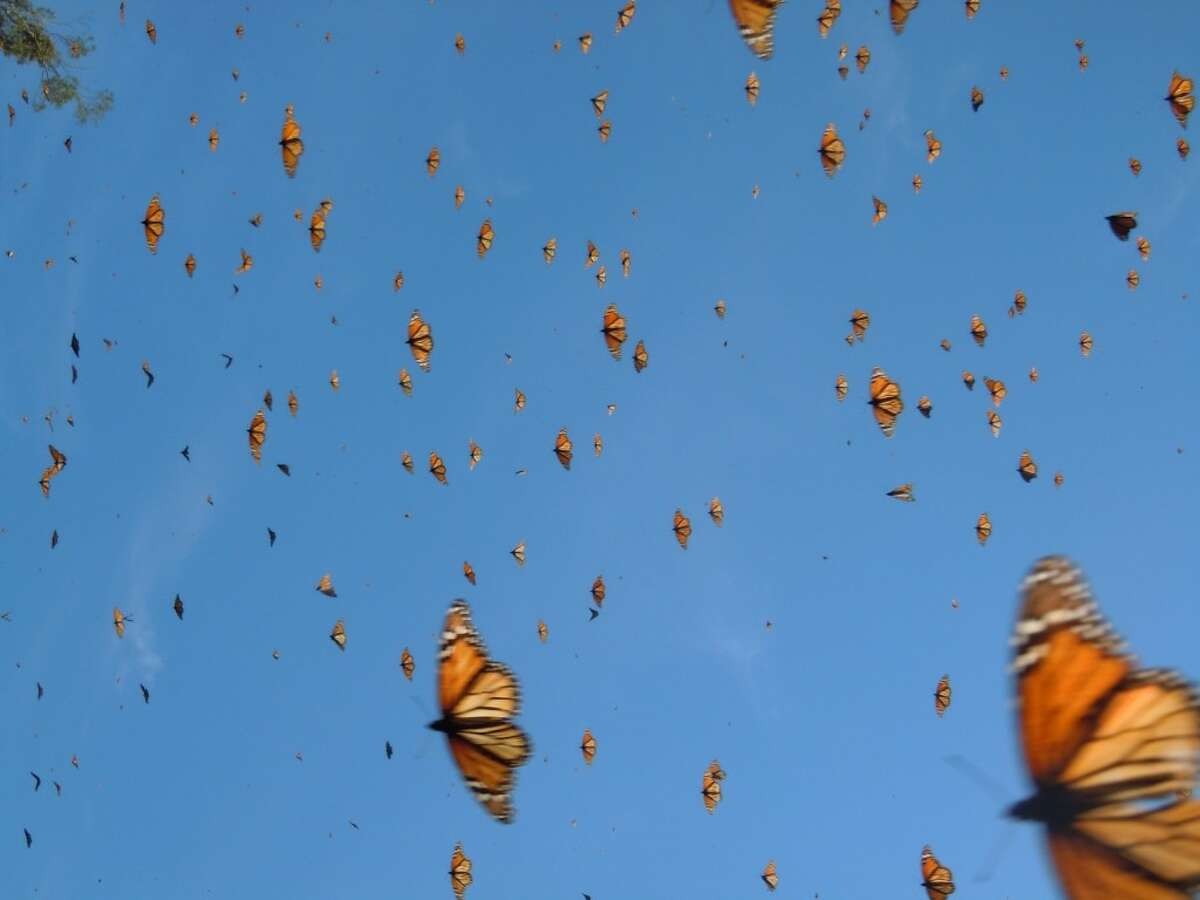The Monarch butterfly migration faces serious risks, says Dr. Chip Taylor, founder of Monarch Watch. Photo by Monika Maeckle