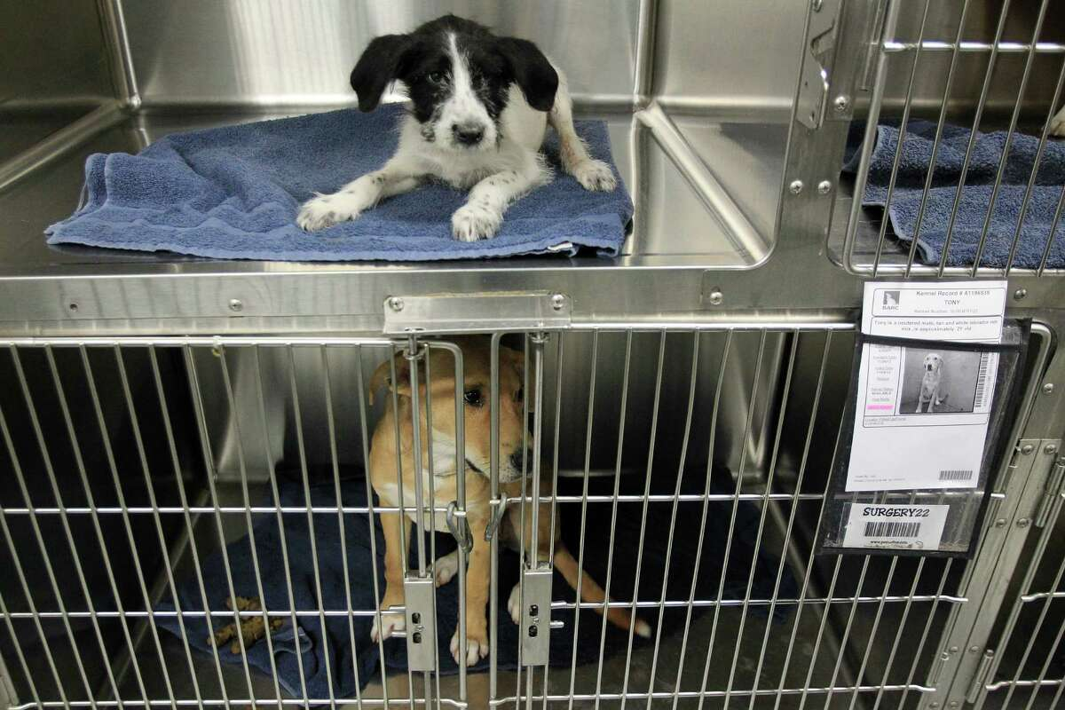 Dogs recover after a morning surgery as they get ready for adoption at the city Bureau of Animal Regulation and Care.