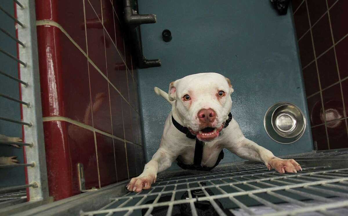 A pit bull plays in his kennel in the adoptions building, as BARC announces it will be making additions to the facility on Wednesday, Nov. 13, 2013, in Houston. ( Mayra Beltran / Houston Chronicle )