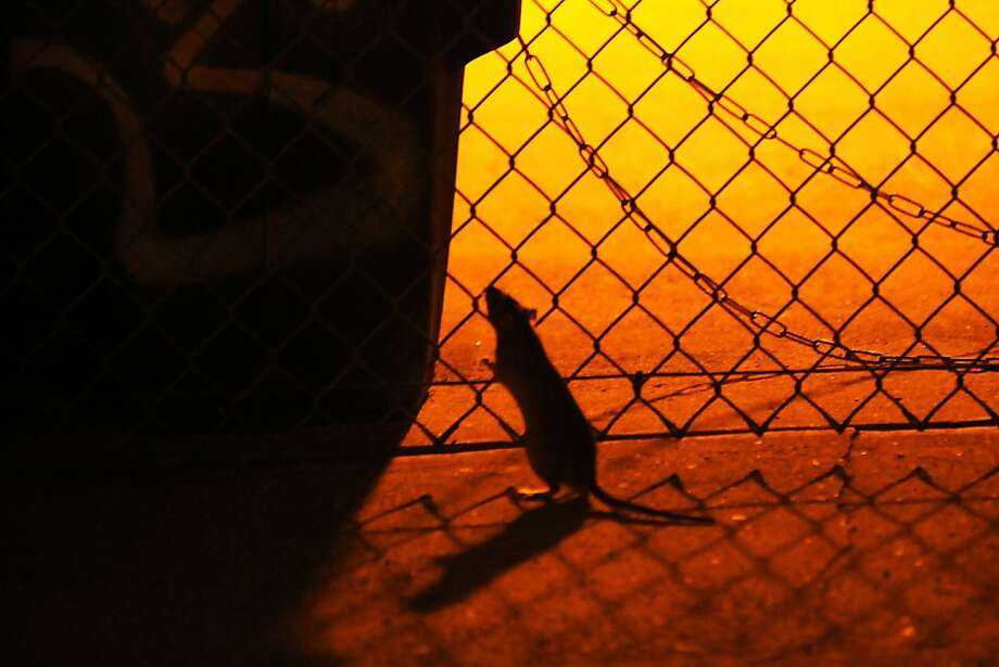 Rats are seen frequenting trash cans in the parking lot of Feline Wishes and Caviar Dreams, a cat boarding facility on Bryant St. in San Francisco, CA Saturday, November 9, 2013. Photo: Michael Short, The Chronicle