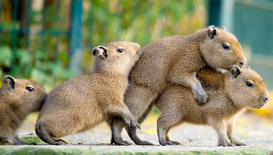 Rodent rage often ensues: This is what happens when you tailgate, and the guy in front hits the brakes without warning. (Baby capybaras at the Hanover Zoo in Germany.) Photo: Christoph Schmidt, AFP/Getty Images