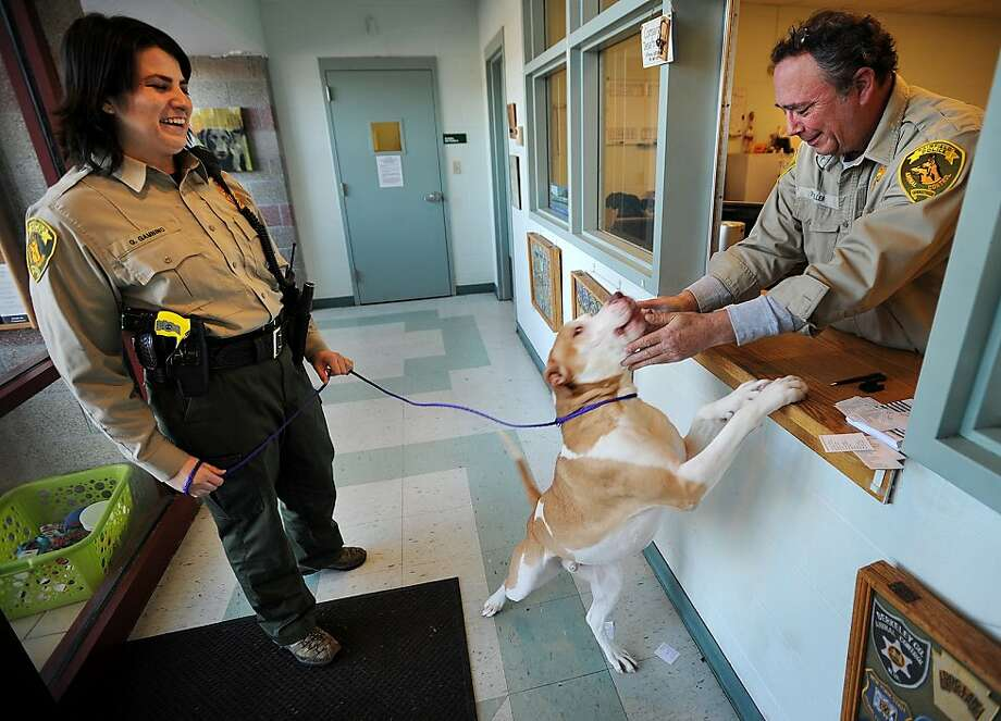 Loverboy needs a home: Mush is one of the many pitbulls up for adoption at Animal Control in Fairfield, Conn., and officers Gina Gambino and Paul Miller can attest to his friendliness. Photo: Brian A. Pounds, Connecticut Post