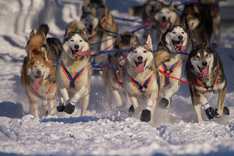 Iditarod huskies