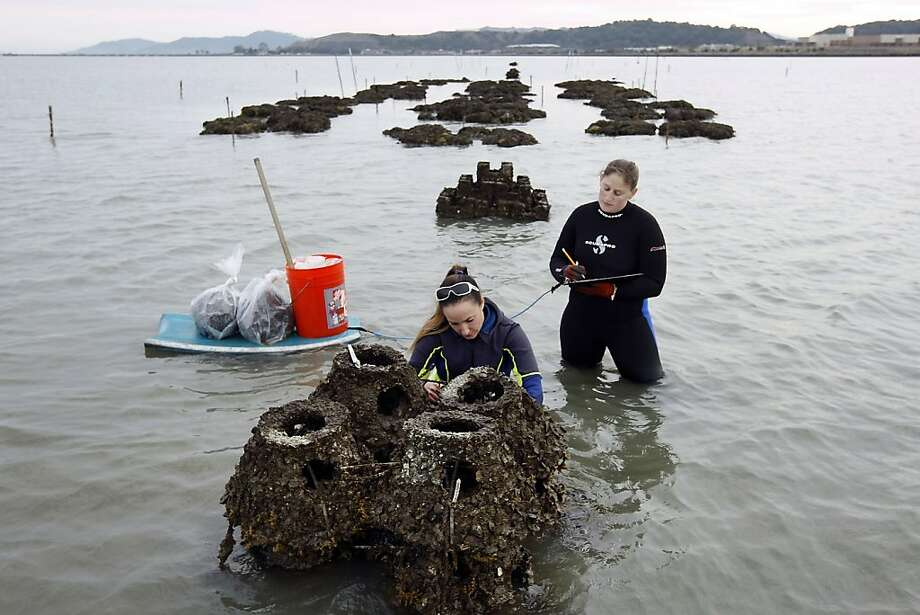 Volunteer Kristina Sawyer (right) and Stephanie Kiriakopolos inspect Olympia oyster beds on a man-made reef near the Richmond-San Rafael Bridge. Photo: Michael Short, The Chronicle