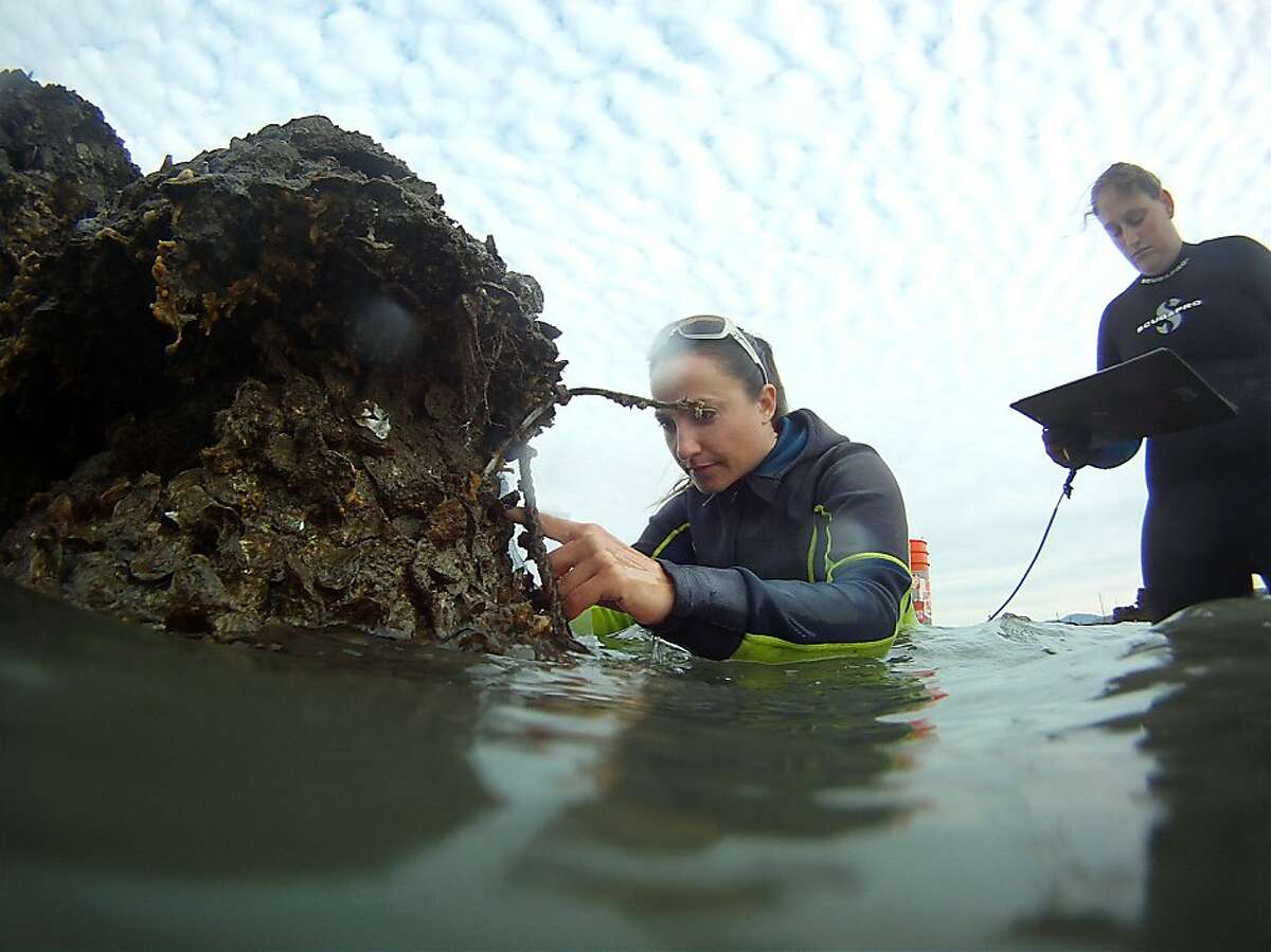 Stephanie Kiriakopolos, left, and Kristina Sawyer inspect research oyster beds in San Rafael, CA Thursday, November 13, 2013. Coastal Conservancy along with state, federal, and non-profit partners has started an innovative restoration project by constructing native oyster and eelgrass beds in San Francisco Bay in the hopes that it will provide critical information about the benefits of using natural reefs along local shorelines.