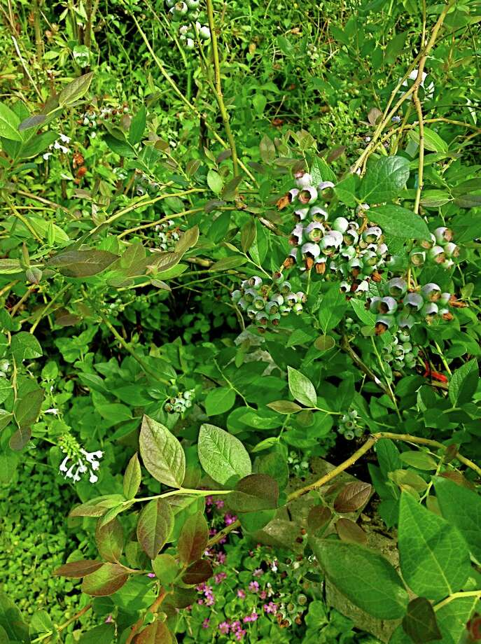 This Windsor Highbush Blueberry is Loaded Just two years after being planted.