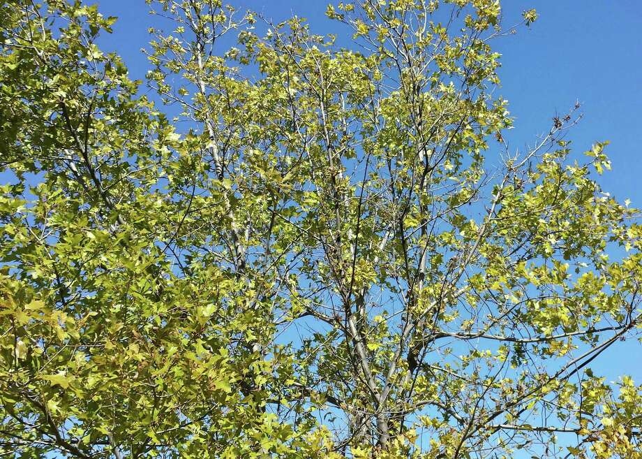 Yellow leaves on a red oak growing in alkaline soil could indicate the variety is wrong for the soil. Photo: Courtesy Photo
