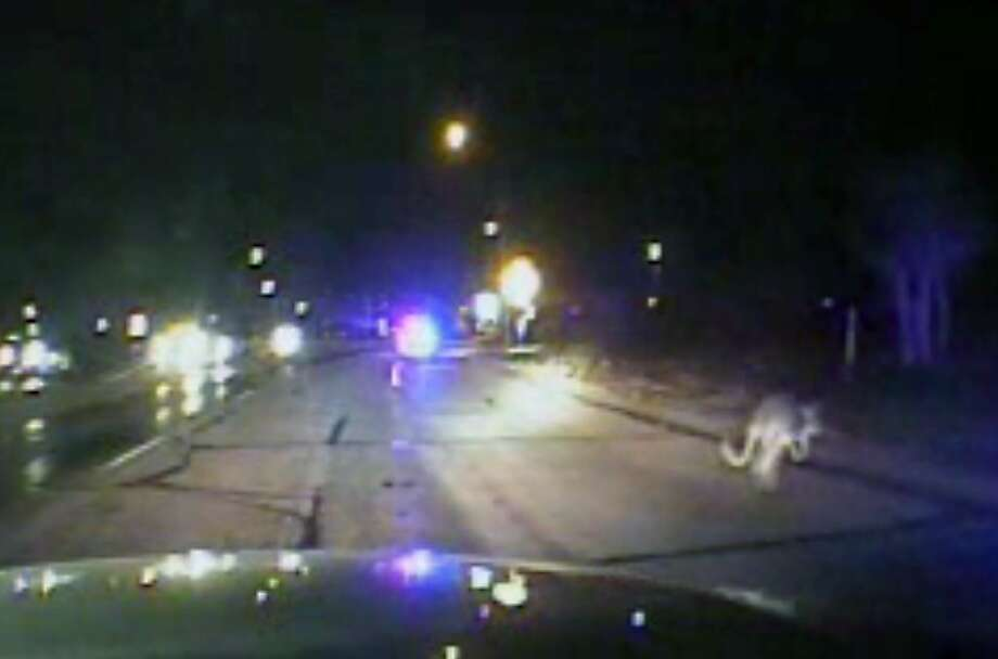 For a second we thought it was a jackalope: When reporting a kangaroo sighting in West Texas, it's helpful to have a video dash cam to prove you haven't been drinking. The sheriff's deputies driving this cruiser helped capture the 4-foot-tall marsupial, an escaped pet, near Midland and return it to its owner. Photo: Associated Press