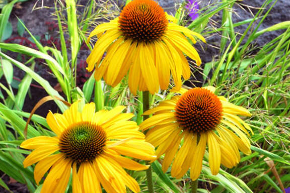 Coneflowers may be perfect for a narrow border near a walkway.