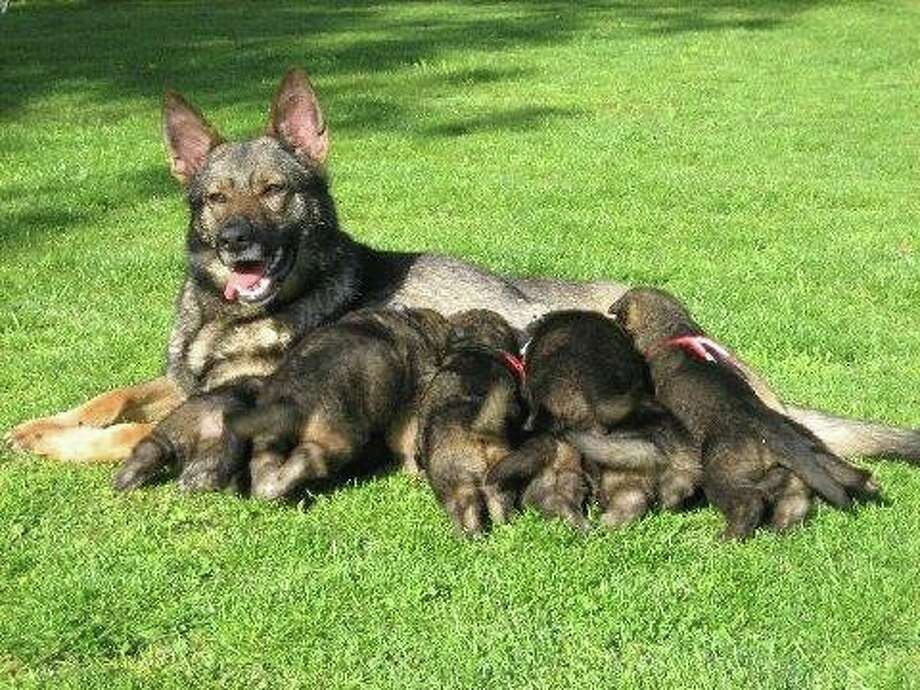 Jaeger and Ziva are littermates and were born November 15, 2007 to their mother, Viza, in Snohomish. They came from Von Grunheide Shepherds, which breeds German shepherds for law enforcement. They're pictured here with their mother, brothers and sisters. Photo: Seattle Police Foundation