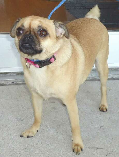 Next up is Molly (good golly) a 1.5 year Pug girlfriend.  She was brought in by her owners who decided they would move and not take her. Photo: --