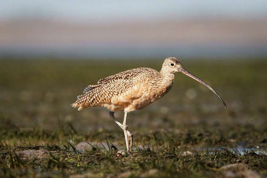A long-billed curlew, one of more than 300 bird species found on land managed by the Katy Prairie Conservancy, observes its surroundings. Photo: Michael Paulsen, Staff / © 2012 Houston Chronicle