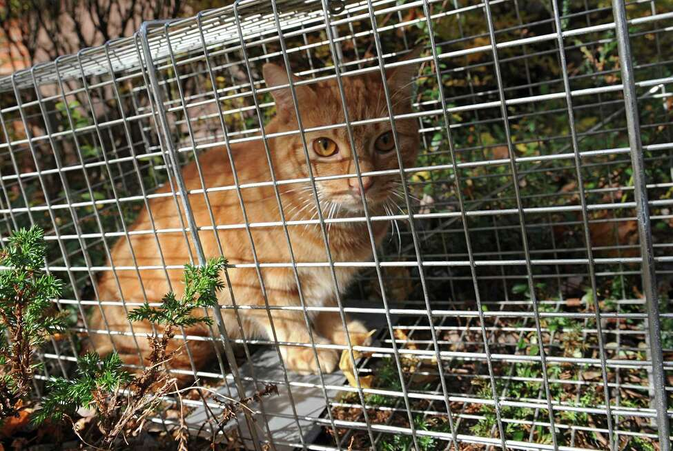 Feral cat Charlie is seen in a trap on Friday, Nov. 15, 2013 in Troy, N.Y. Troy City Council President and President of the Washington Park Association Lynn Kopka is founder of Operation SNIP which is an organization that neuters feral cats. (Lori Van Buren / Times Union)
