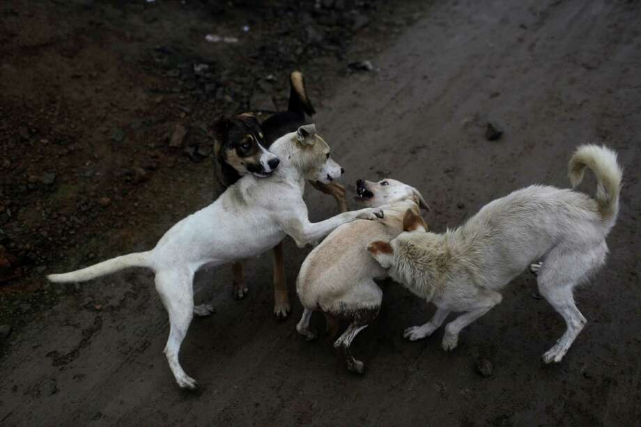 In this Aug. 4, 2013 photo, a pack of strays attack another street dog in the Villa Maria del Triunfo district in Lima, Peru. Peru's economy nearly doubled in size over the past decade, the International Monetary Fund ranking it as world's eighth-fastest growing economy. Photo: Rodrigo Abd, AP / AP
