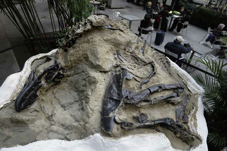 In this Thursday, Nov. 14, 2013, photo a nanotyrannus lancensis fossil is displayed in New York, Thursday, Nov. 14, 2013. Two fossilized dinosaur skeletons found on a Montana ranch in 2006 are coming up for sale in New York City. The nearly complete skeletons are billed as the Montana Dueling Dinosaurs. Photo: Seth Wenig, AP / AP2013