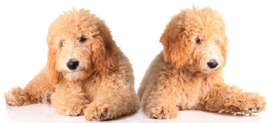 """Goldendoodles are the best of two worlds: the energy and loving loyalty of the golden retriever, and the hypoallergenic, non-shed fur and fluff of a poodle.   They look like something you buy at Build-a-Bear, and these dogs are nothing but fun. They love to play, they love to cuddle, and their wholehearted adoration for their family makes them incredibly ideal for new pet owners of any age. Be warned, however: as they're a """"designer breed,"""" and very popular, they cost quite a bit! Photo: Barbara Helgason - Fotolia"""