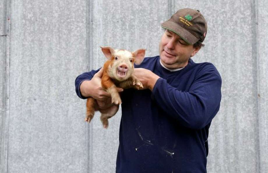 "Bruce King holds a three-week-old piglet on his farm in Arlington, Wash., in this photo made on Thursday, Nov. 14, 2013. King says he was a 22-year-old high-school dropout when Microsoft hired him as its 80th employee in 1986. A software engineer, he eventually left and started or acquired two other companies, telephone adult chat and psychic hotlines, but he really wanted to farm. He found a management team to handle his business and started breeding pigs north of Seattle.   After Washington legalized marijuana last fall, he looked at pot as any other crop. The potential margins were ""fabulously attractive,"" he says. He found a farm with a 25,000-square-foot barn for a marijuana operation.   King, 50, doesn't like pot himself, but says, ""If people are going to eat a stupid drug, they should eat my stupid drug."" He likens it to running a psychic hotline when he's never had a reading. ""You don't have to like Brussels sprouts to grow them."" Photo: Elaine Thompson, Associated Press"