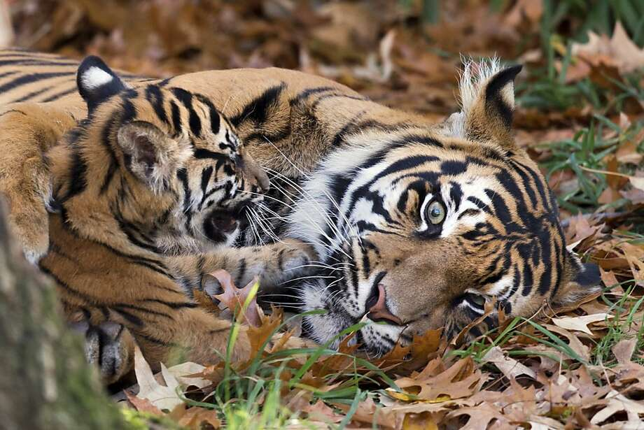 Wrestling in the leaves:Damai lets one of her two cubs paw her face as the youngsters make their public debut at the National Zoo in Washington, D.C. Photo: Jacquelyn Martin, Associated Press