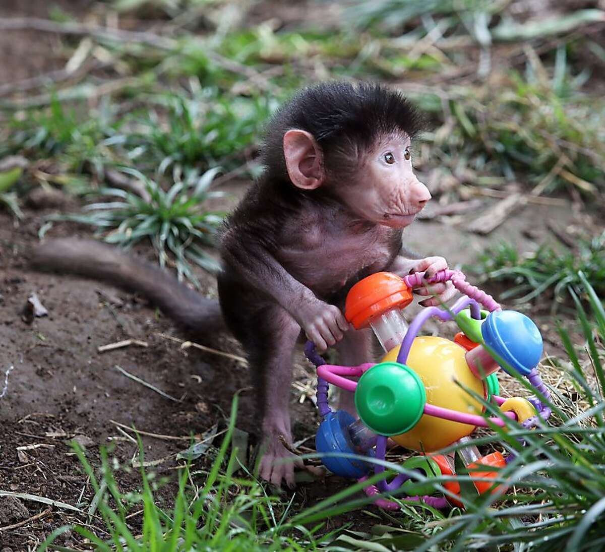 I think it's a drone: Less than a month old, Kodee the baby hamadryas baboon investigates a strange object in her enclosure at the Oakland Zoo.